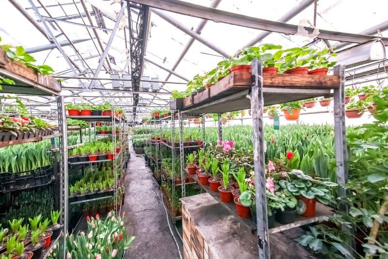 Blommor som står på en hylla i det industriella växthuset fotografering för bildbyråer