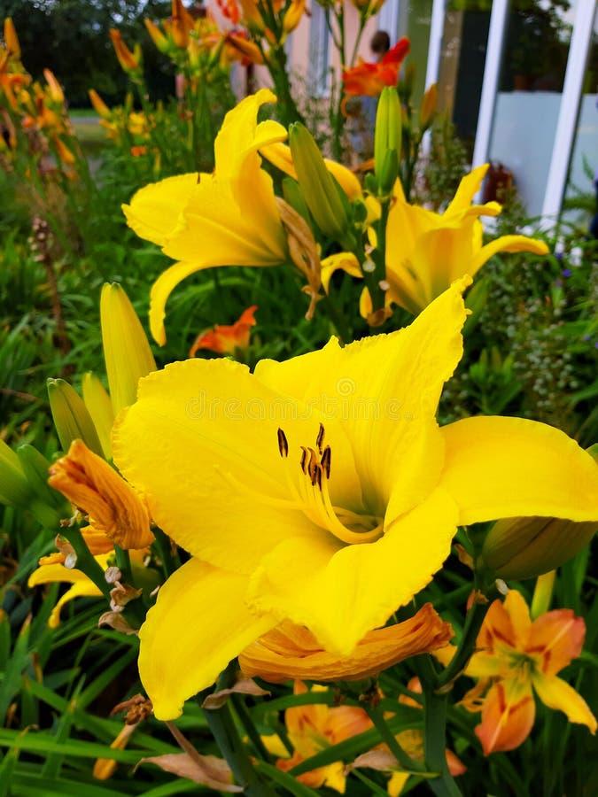 Blommor sommar sun färger, sol och himmel härlig och mjuk lilja fotografering för bildbyråer