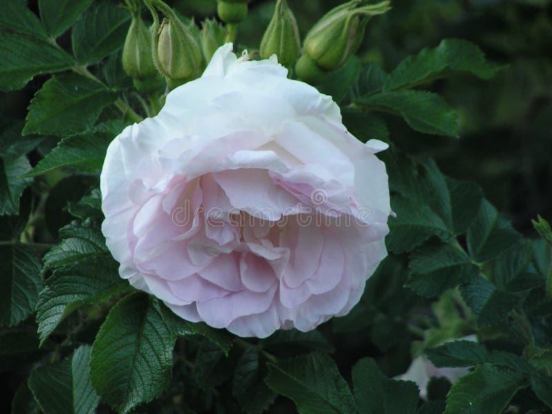 Blommor Steg Blommor Bush med rosor Landskapomr?de i str?larna av inst?llningssolen royaltyfri fotografi