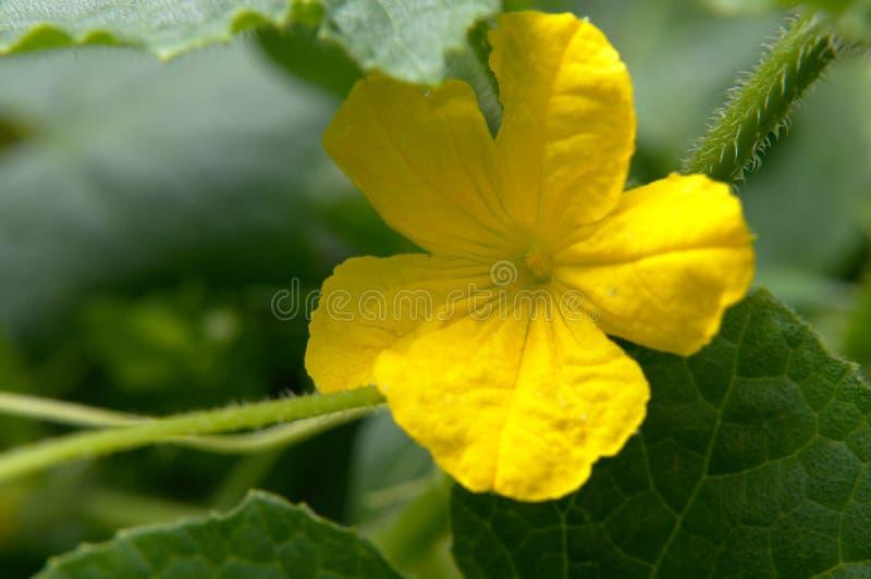 Blommor till en Butternut-squash royaltyfri bild