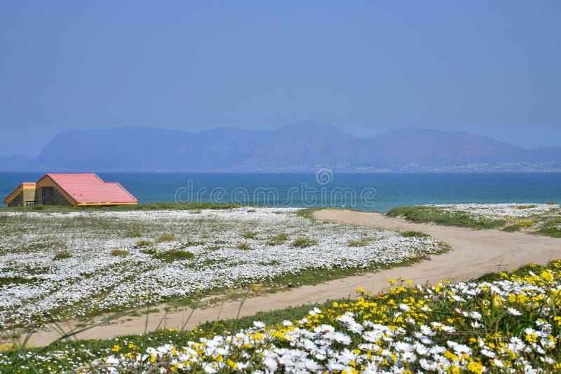 Blommor vid havet Uddevästkusten, Sydafrika arkivfoton