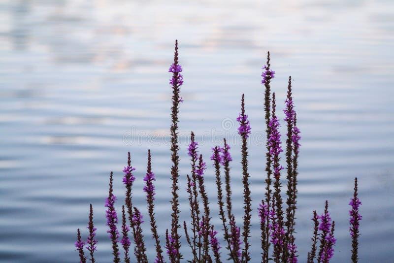 Blommor vid vattnet royaltyfria foton