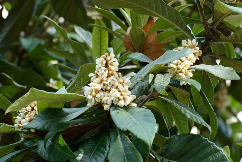 Blommorna av loquaten royaltyfria bilder