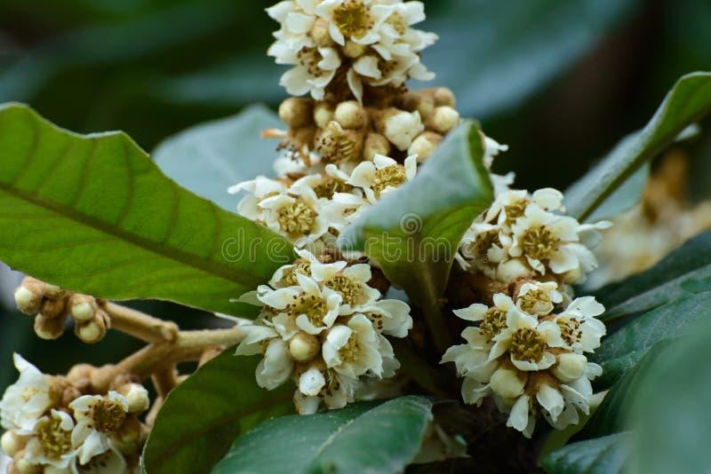 Blommorna av loquaten royaltyfri bild
