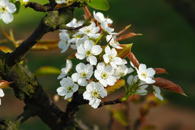 Blommorna av päronträdet är vita arkivfoto