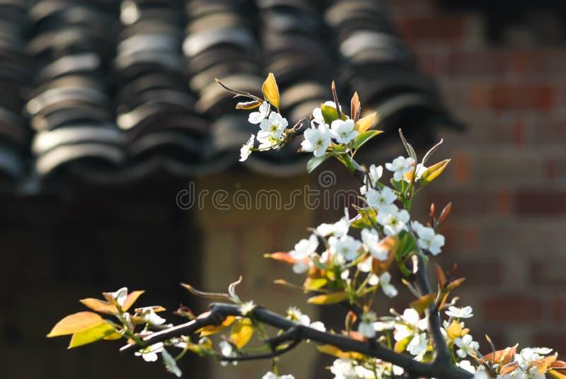 Blommorna av päronträdet är vita fotografering för bildbyråer