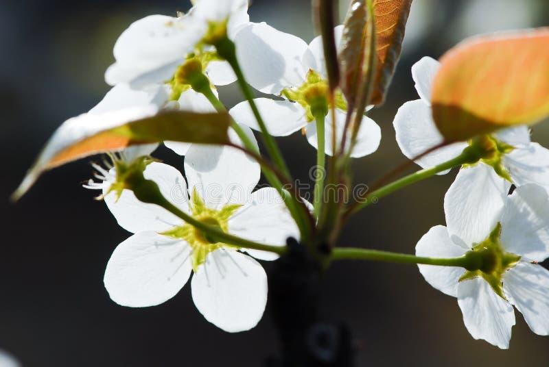 Blommorna av päronträdet är vita royaltyfria bilder