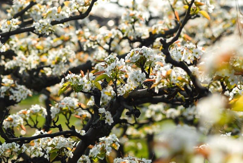 Blommorna av päronträdet är vita arkivfoton