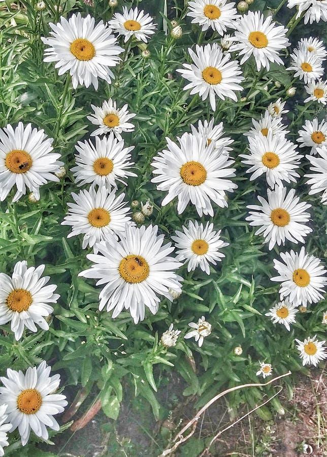 Blommorna för maktod-krysantemum royaltyfri foto