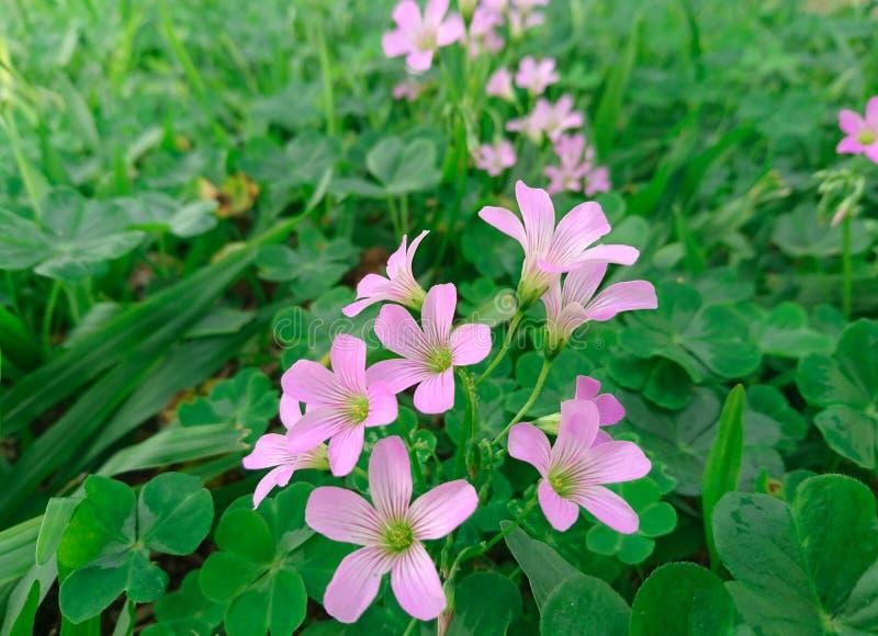 Blommorna för purpurfärgad växt av släktet Trifolium arkivfoto