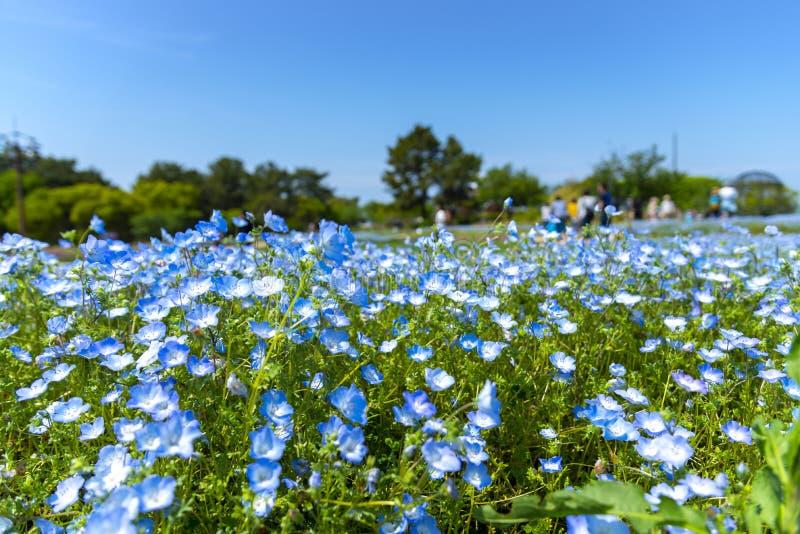 Blomnemophilaen eller behandla som ett barn blåa ögon för att blomma mattfältet på den Uminonakamichi sjösidan parkerar, Fukuoka, royaltyfri fotografi
