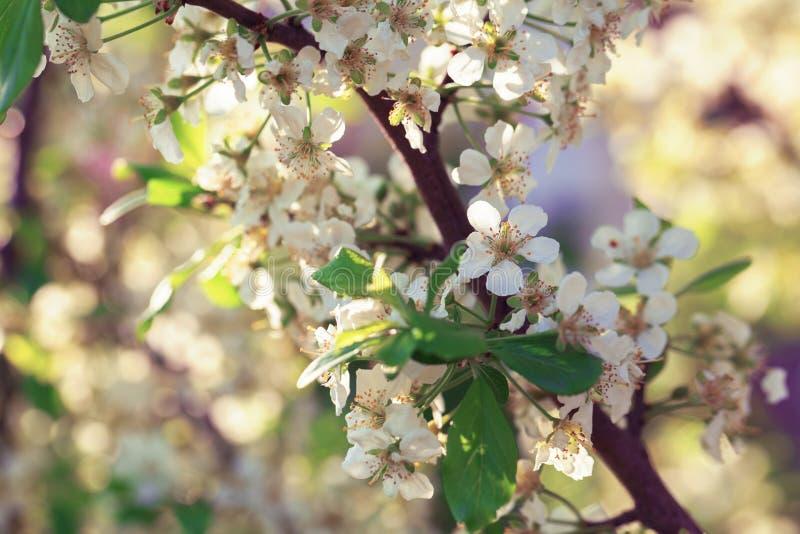 Blomningäppleträd över naturbakgrund royaltyfri bild