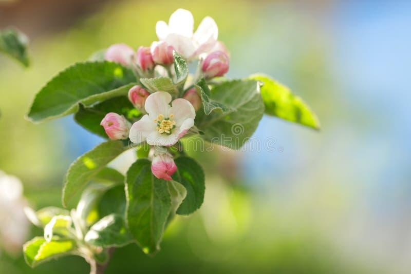Blomningäppleträd över naturbakgrund royaltyfria bilder