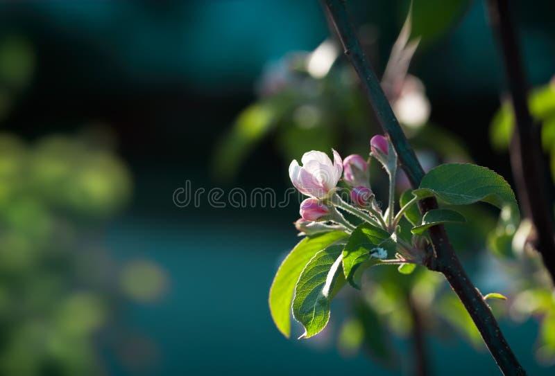 Blomningäppleträd över naturbakgrund arkivfoton