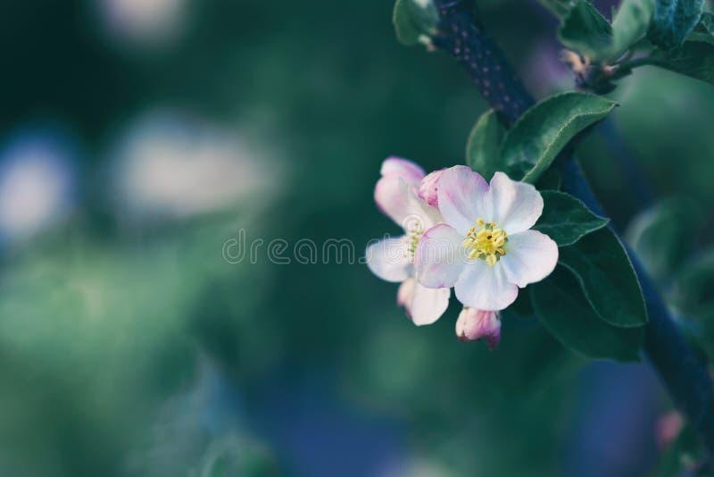 Blomningäppleträd över naturbakgrund arkivfoto