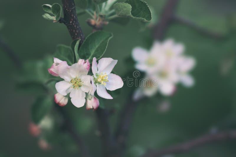 Blomningäppleträd över naturbakgrund fotografering för bildbyråer