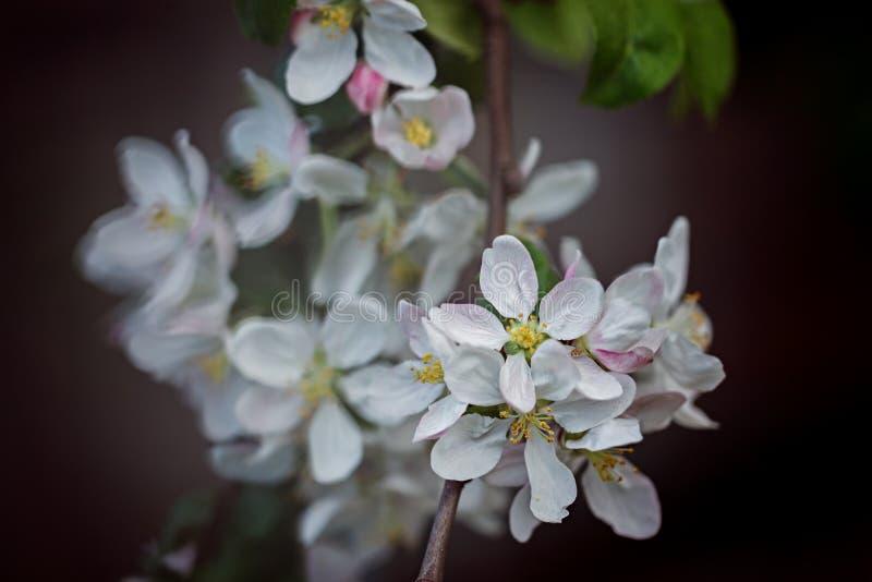Blomningäppleträd över naturmörkerbakgrund Vår Backgroun arkivbild