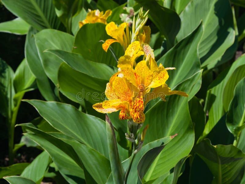 Blomning av daylilycultivaren med röda och gula färger för tiger på blomsterrabattnärbilden, selektiv fokus, grund DOF royaltyfria bilder