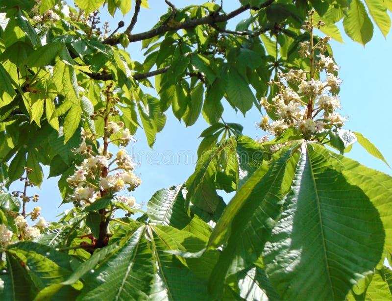Blomning av det kastanjebruna trädet i våren, närbild, det fria, arkivfoto