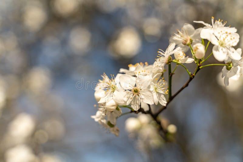 Blomning av det vita körsbärsröda trädet som tecknet av vårtid, selektiv fokus arkivfoton