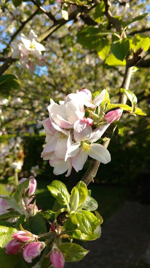 Blomning av ett äppleträd royaltyfri fotografi