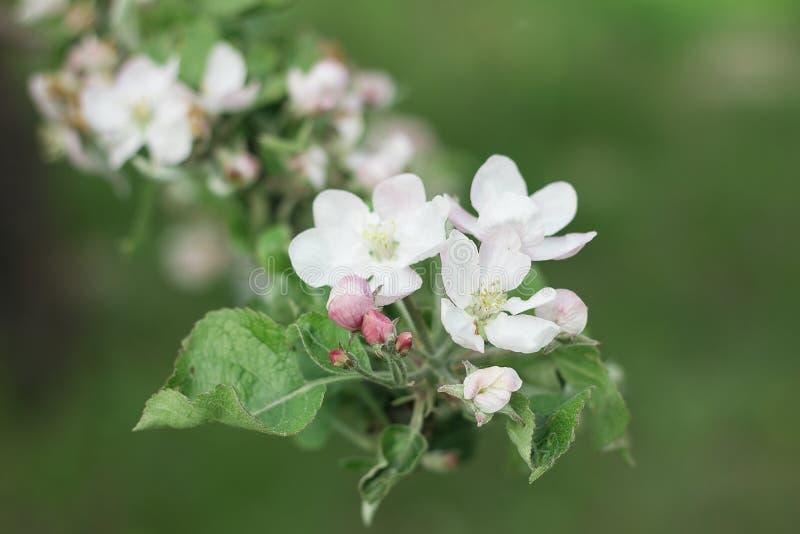 Blomning av ett äppleträd i en vårträdgård arkivfoto