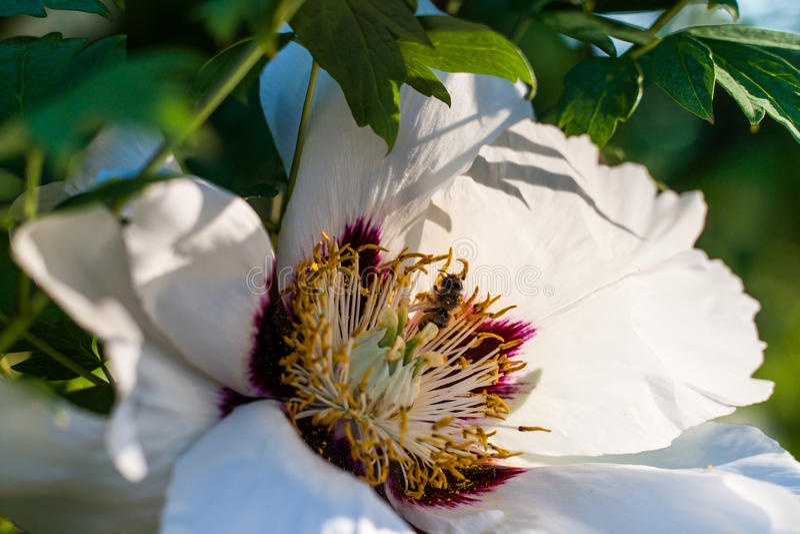 Blomning av pionträdet med ett bi royaltyfria bilder