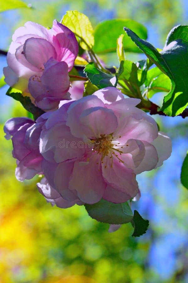 Blomning blomma, filial, Rosa Canina royaltyfria bilder