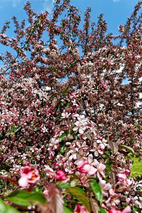 Blomning för Apple träd. arkivfoton