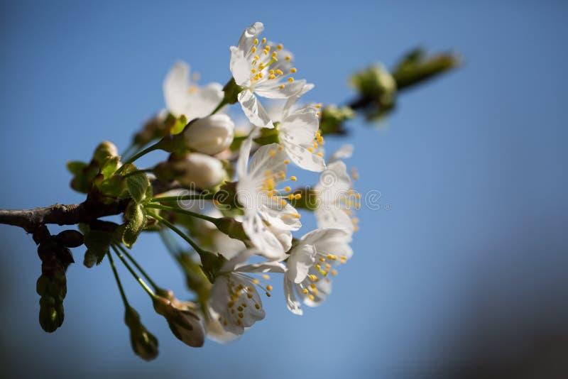 Blomning för körsbärsrött träd, dekorativ körsbär i vår royaltyfria bilder