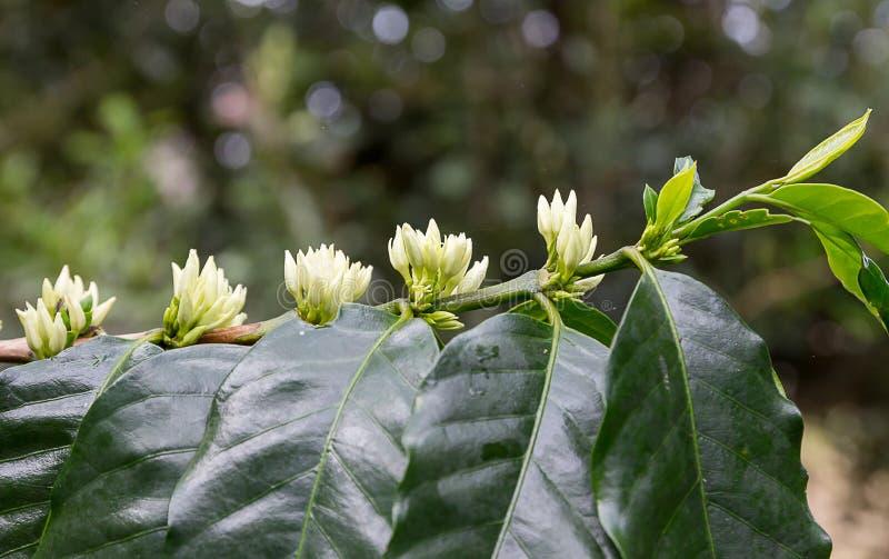 Blomning för kaffeträd med övre sikt för vitt färgblommaslut arkivbilder