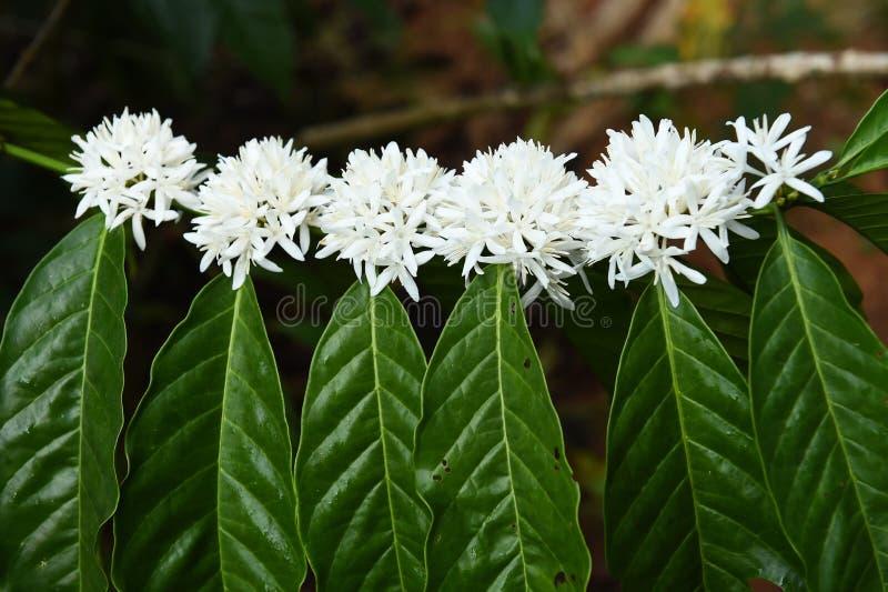 Blomning för kaffeträd med den vita färgblomman arkivbild