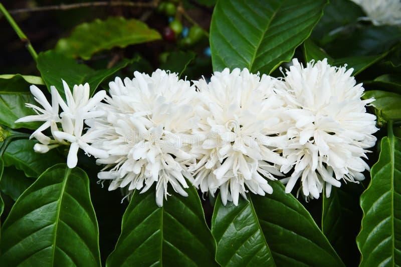Blomning för kaffeträd med den vita färgblomman royaltyfri bild