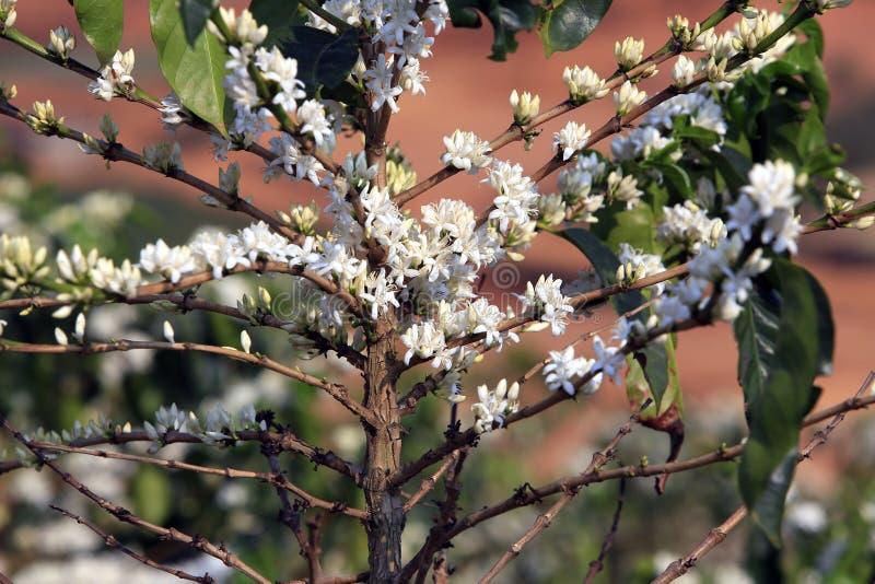 Blomning för kaffeträd med den vita färgblomman royaltyfri fotografi