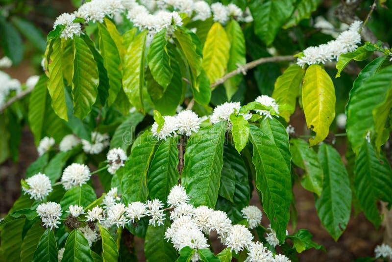 Blomning för kaffeträd med vit färg på filial arkivbild
