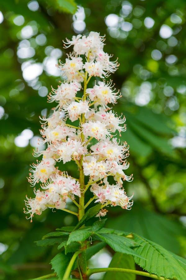 Blomning för kastanjebrunt träd i vår Vår som blommar kastanjen Blomning f?r kastanjebrunt tr?d Naturen parkerar Kronblad och pol royaltyfria bilder