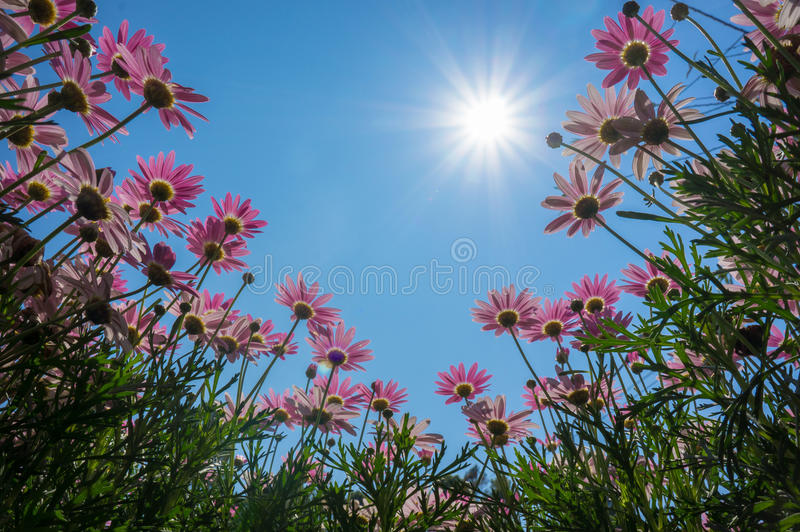 Blomning för krysantemumblommarosa färger. royaltyfri fotografi