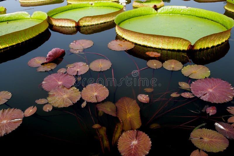 Blomning för Lotus blomma arkivfoton