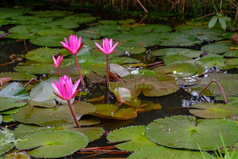 Blomning för lotusblomma för rosa färgfärg ny eller näckrosblomma som blommar på dammbakgrund royaltyfri fotografi