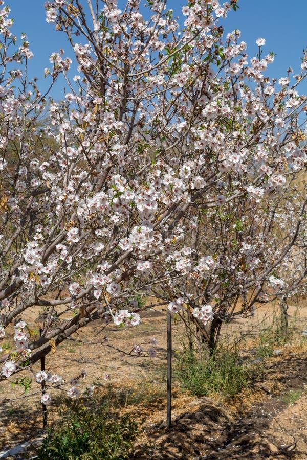 Blomning för mandelträd, vår i fruktträdgården, naturbakgrund w royaltyfria foton