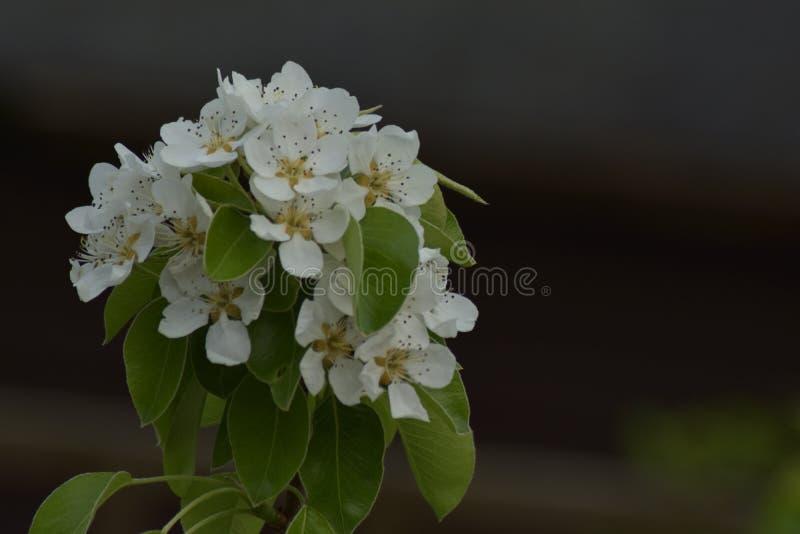 Blomning för päronträdfilial arkivfoto