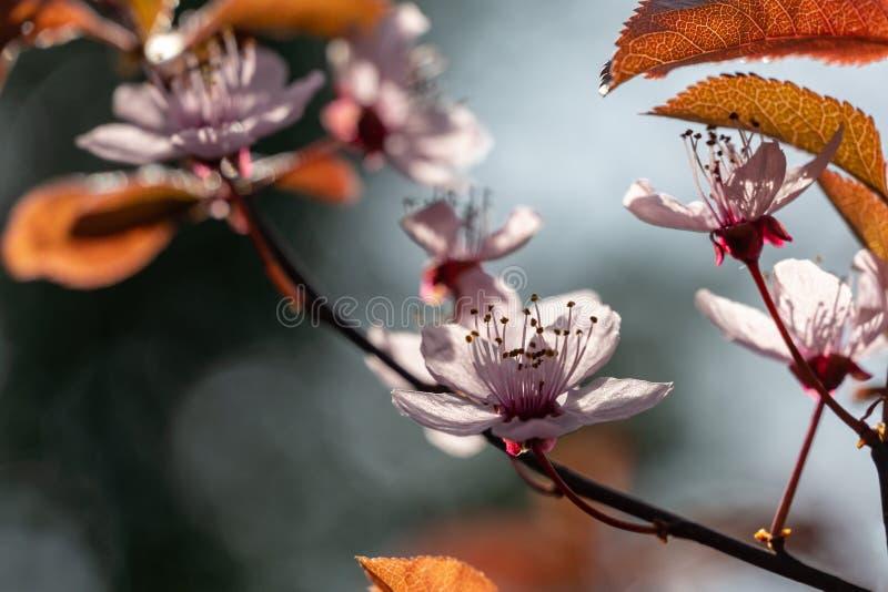 Blomning f?r PrunusCerasifera Pissardii tr?d med rosa blommor V?ren fattar av k?rsb?ret, Prunuscerasus p? h?rligt som g?ras suddi arkivbilder