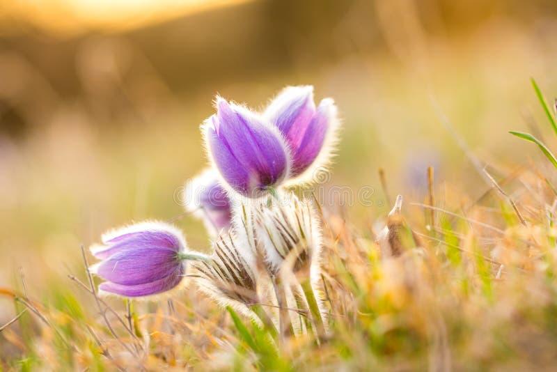 Blomning för pulsatilla för Pasque blomma Specificera makroen av den violetta blomman som tas under den härliga vårsolnedgången V royaltyfri bild