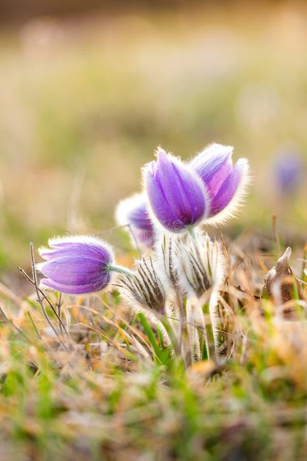 Blomning för pulsatilla för Pasque blomma Specificera makroen av den violetta blomman som tas under den härliga vårsolnedgången V royaltyfri fotografi