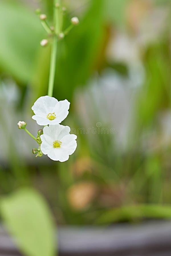 Blomning för vit blomma på filial på suddighetsträdgårdbakgrund arkivfoto