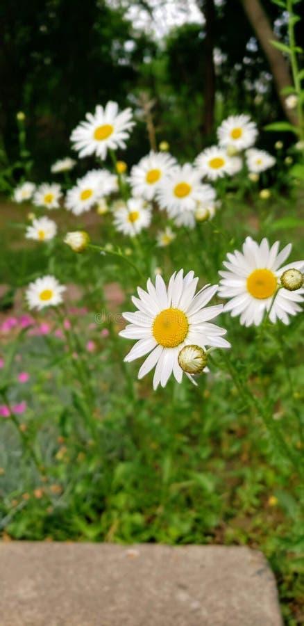 Blomning för vit tusensköna i en trädgård royaltyfri fotografi