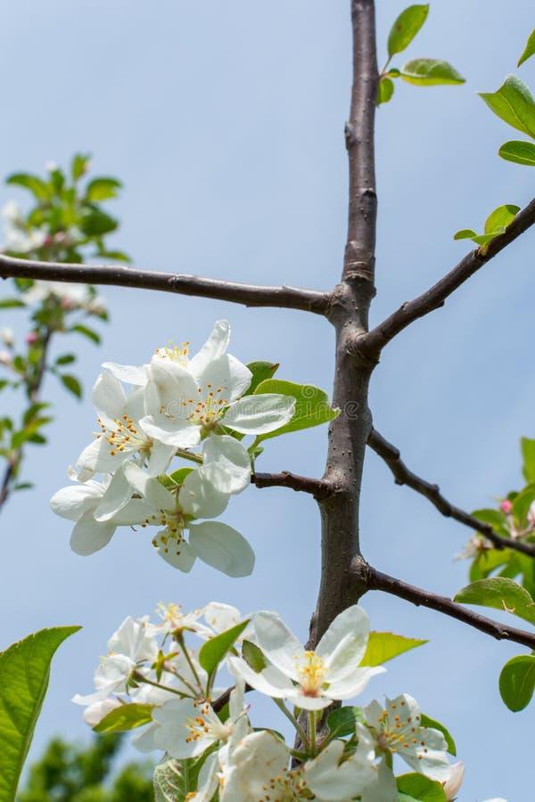 Blomning f?r Apple tr?d p? Midewin nationella tallgrass pr?rie, Illinois fotografering för bildbyråer
