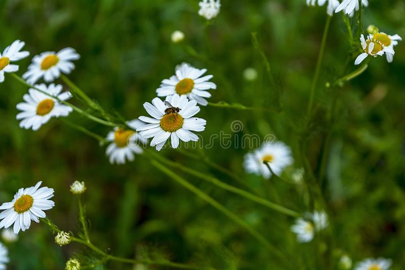blomning Fel på kamomillen Det blommande kamomillf?ltet, kamomill blommar p? en ?ng i sommar, selektiv fokus arkivfoto