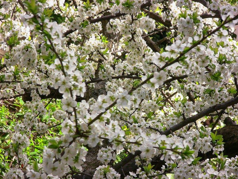 Blomning-laden plommonträd arkivfoton