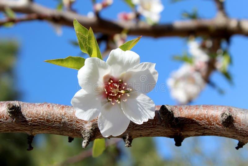 Blomning på den söta mandeltreen (art: Prunusamygdalus, syn. Pr arkivfoton